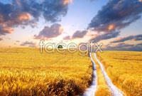 Link toGolden rice fields in the fall high definition pictures