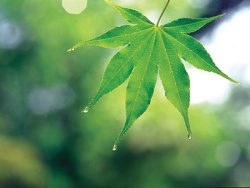 Link toGreen maple leaf chinese restaurant picture material