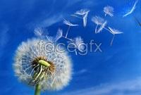 Link toHd dandelion picture