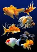 Link toHd goldfish psd