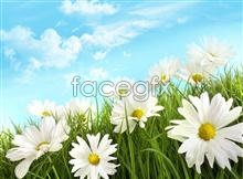 Link toHd lawn daisy pictures