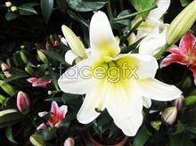 Link toHd lily close-up pictures