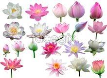 Link topsd bud lotus Hd