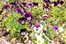 Link toHd pansy pictures