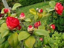 Link tocamellia red picture Hd