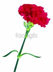 Link toHd picture red carnations