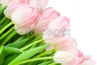 Link toHd pink tulip flower pictures