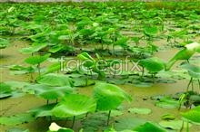 Link toHd pond lotus leaf pictures