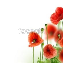 Link toHd poppy picture
