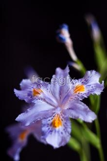 Link toHd purple iris pictures