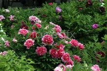 Link topictures peony red Hd