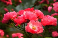 Link toHd rose flower pictures