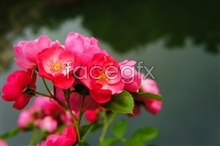 Link tomaterial picture photography rose Hd