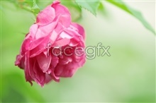 Link tophotography rose Hd