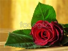 Link topictures rose Hd