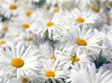 Link toHd white chrysanthemums pictures