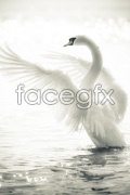 Link toHd white swan psd