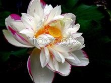 Link topictures lily water white Hd