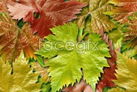 Link toHigh definition grape leaf picture