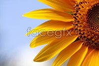 Link toHigh-definition sunflower picture