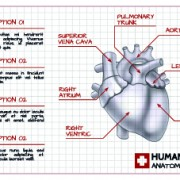 Link toHuman heart medical vector graphics 02 free