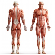 Link toHuman muscle anatomy pictures download