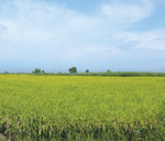Link toIn rice field psd