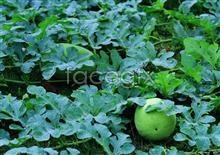 Link toJadeite watermelons picture