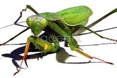 vector mantis Life-like
