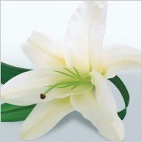 Link toLily flower vector