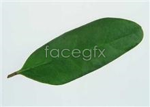 Link topictures leaf Long