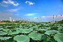 Link toLotus leaf material picture