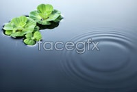 Link toLotus pond lotus leaf hd photo