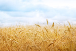 Link toMature wheat field psd