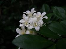 Link toOsmanthus hd picture