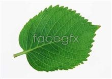 Link topictures leaf Oval
