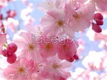 Link topicture bright blossom Peach