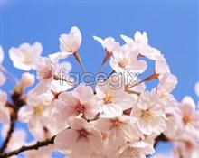Link toPeach blossom in full bloom pictures
