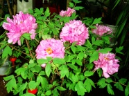 Link toPeony flower bonsai pictures