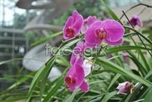 Link toPhalaenopsis bloom pictures