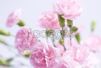 Link toPink carnation hd pictures