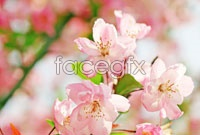 Link toPink cherry blossoms high definition pictures