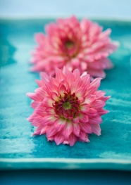 Link toPink chrysanthemum image download