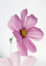 Link toPink fresh flower pictures