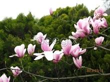 Link toPink magnolia pictures
