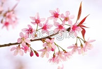Link toPink peach blossom hd picture