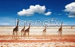 Link toPlains, giraffe psd