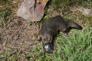 Link toPlatypus picture download