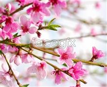 Link toPlum blossom flower pictures