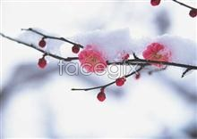 Link toPlum blossom in the winter snow picture